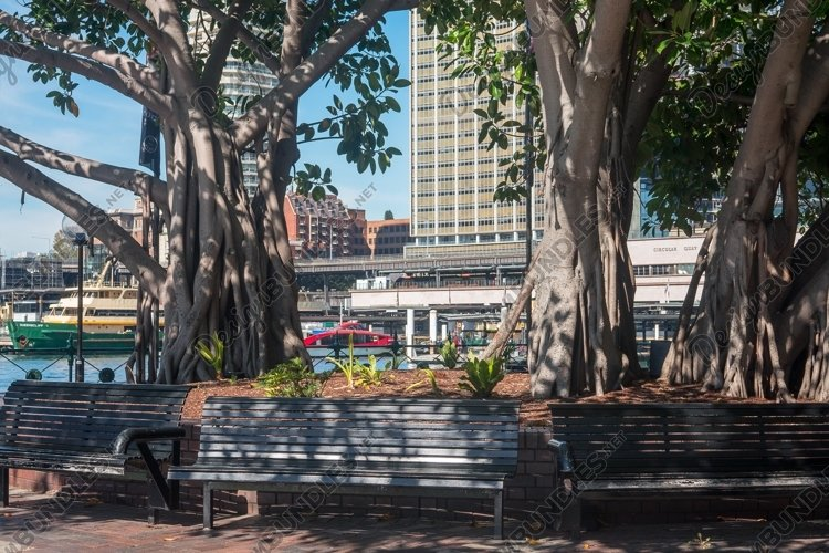 Old Ficus trees. Circular Quay. Viewed from the Rocks. S example image 1