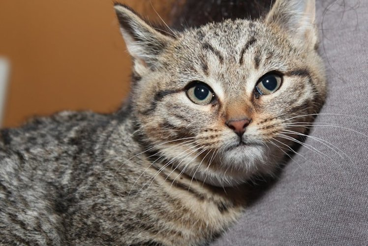 BEAUTIFUL TABBY KITTEN example image 1