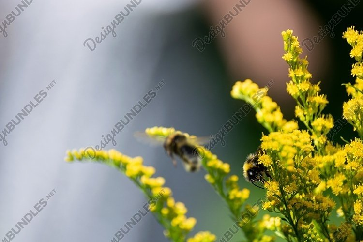 Stock Photo - Beautiful yellow goldenrod flowers and bee. example image 1