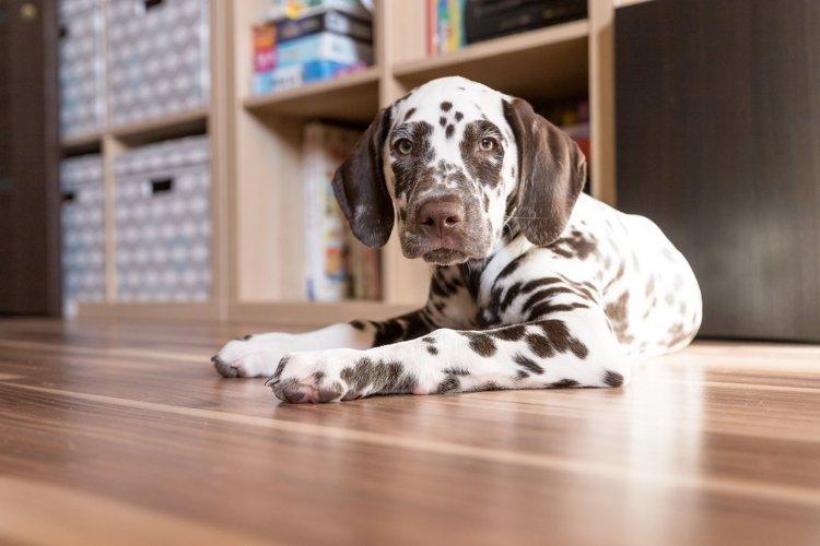 cute dalmatian puppy looking into camera example image 1