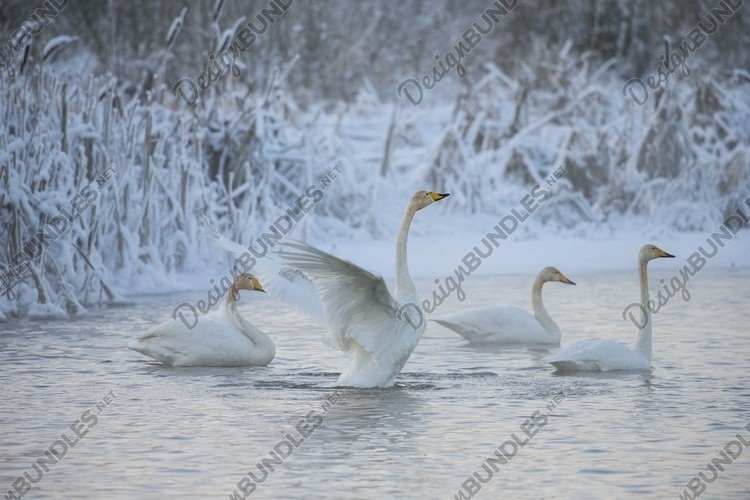 Beautiful white whooping swans swimming in the cold winter example image 1