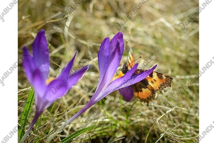 Stock Photo - Fresh flowers of purple crocus in spring. example image 1