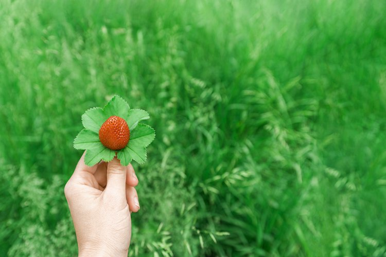 The girls hand holds one red strawberry. Green natural