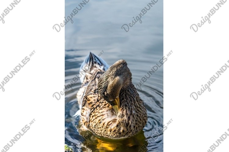 Wild duck floating on the water near the shore example image 1
