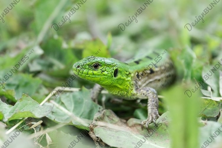 Green lizard in the grass example image 1