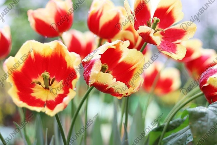 red and yellow flowers tulips close up example image 1
