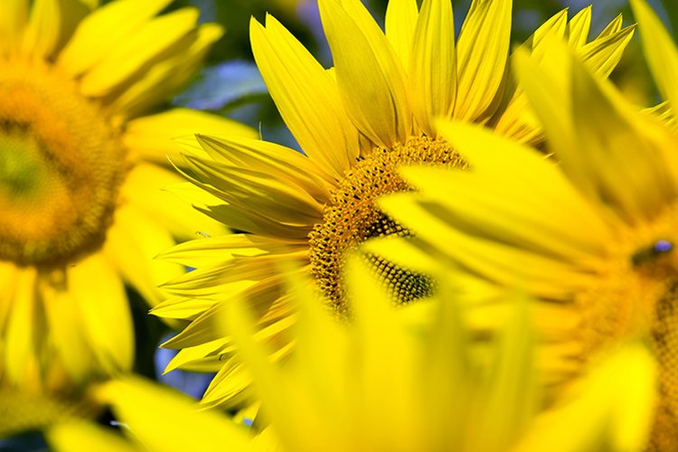 group sunflower in Europe