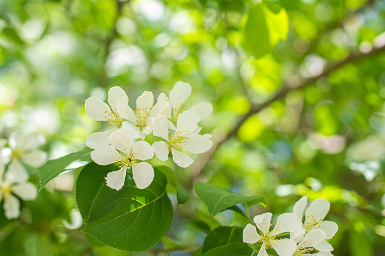 Stock Photo - Branch of a blossoming apple tree example image 1