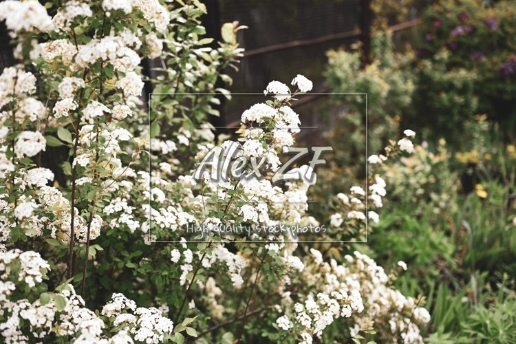 White flowers on spring trees. Photo of little white flowers example image 1