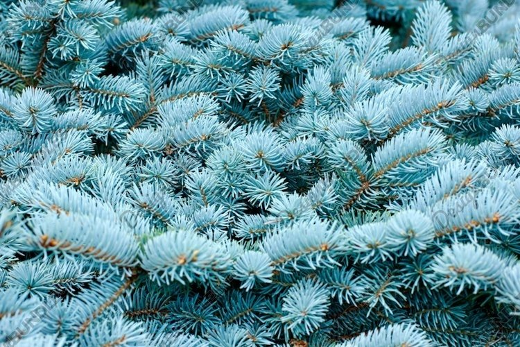 Blue spruce, Christmas, New Year background example image 1