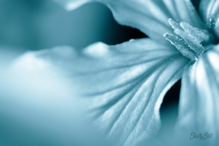 Close Up of a Blue Blossom Flower for Background example image 1