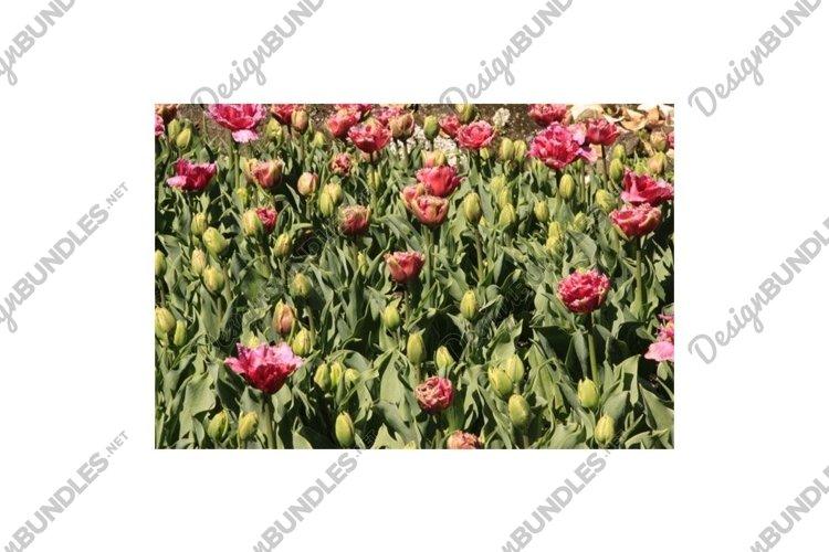 Photo of the flower of Tulips Tulipa example image 1