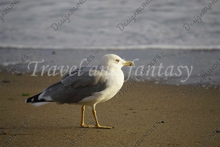 Portrait of a large sea gull on yellow sand. example image 1