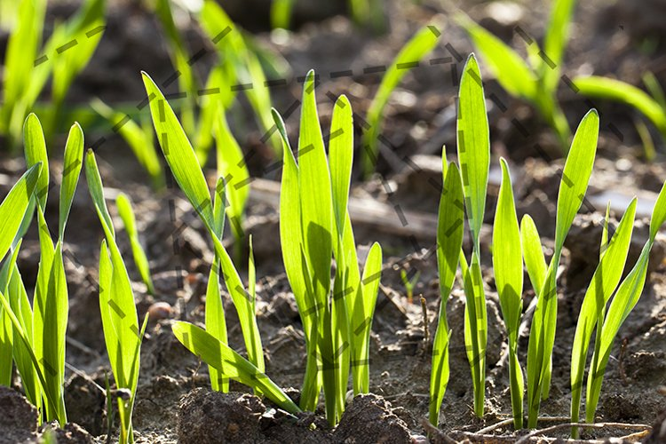 wheat sprouts example image 1