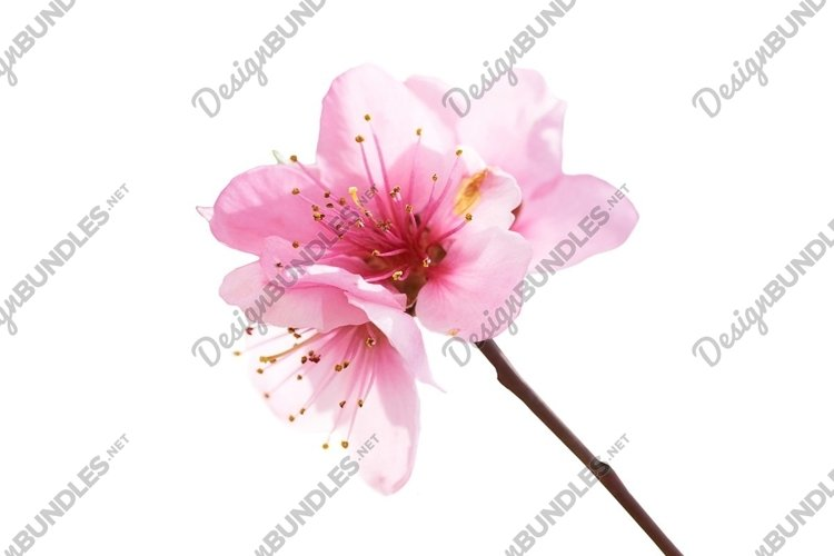 Almond pink flowers isolated on white. Macro shot example image 1