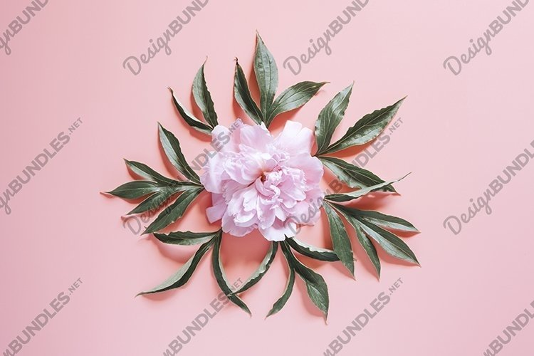 pink blooming peony flowers on pink background. flat lay