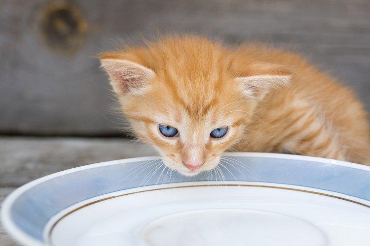 kitten laps milk example image 1