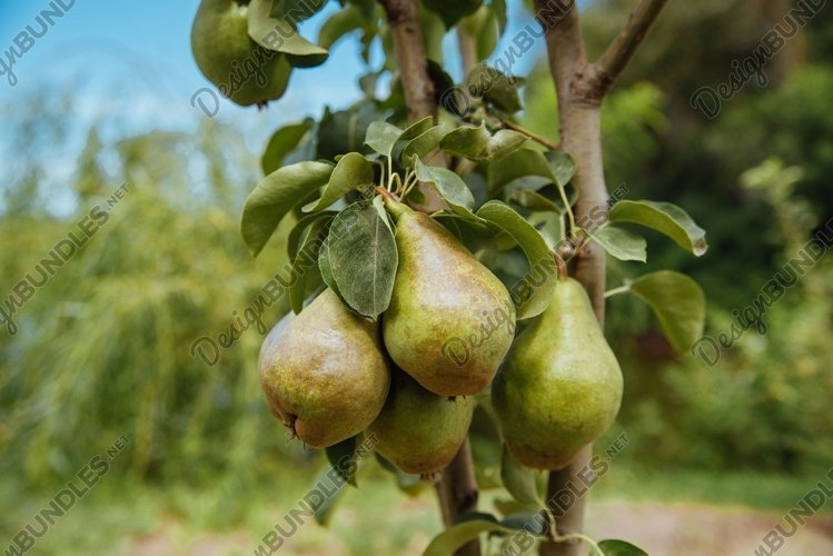Closeup of green pears on a branch in an orchard