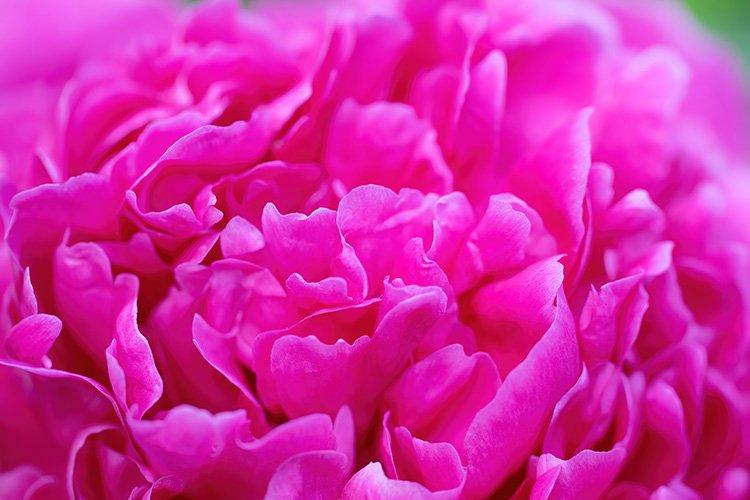 Stock Photo - Pink peony flower close up example image 1