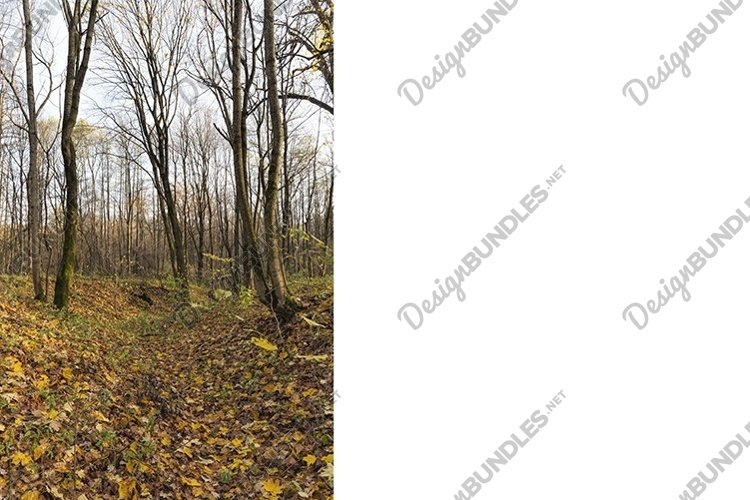 leaf fall in autumn and on maple trees example image 1