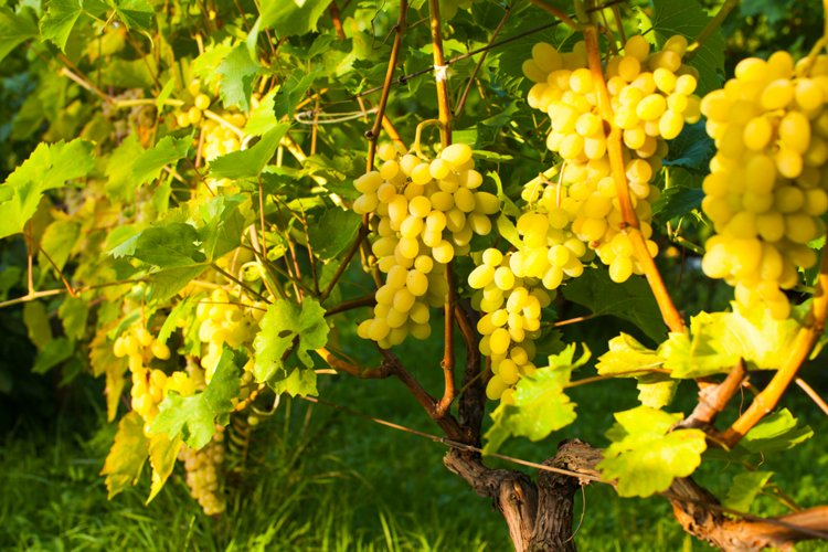 White grapes hanging example image 1