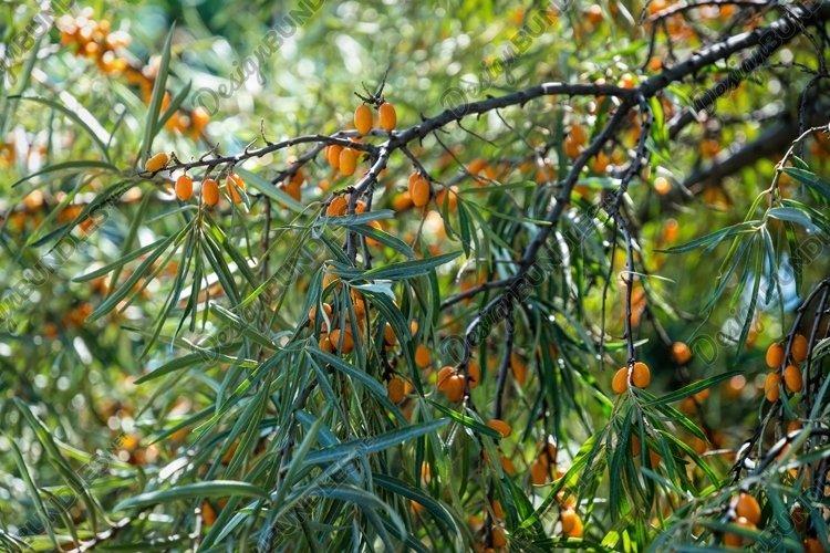 Ripe sea buckthorn berries. Fruit autumn garden example image 1