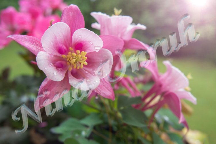 Pink aquilegia vulgaris/formosa of Ranunculaceae in garden example image 1