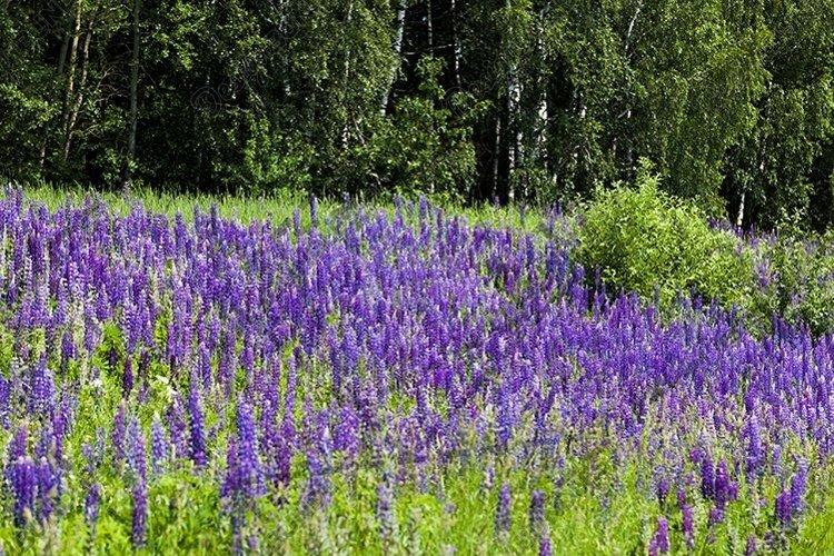 beautiful lupine example image 1