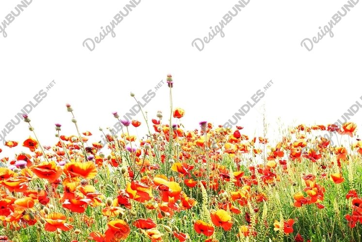 Beautiful red poppies isolated on white background example image 1
