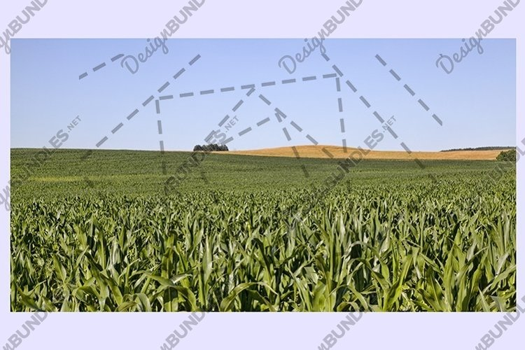 agricultural field with green corn example image 1