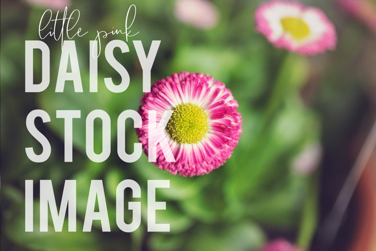 Little Pink Daisy Floral Stock Image Photograph