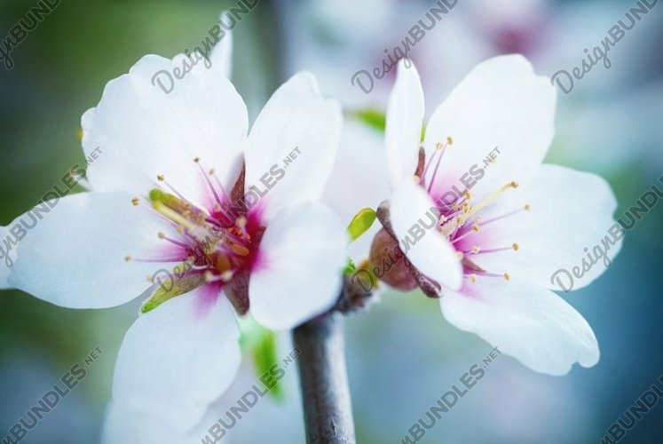 Almond white flowers with the soft background. Soft focus