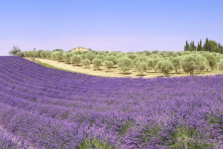 Provence. Lavender fields and olive tree