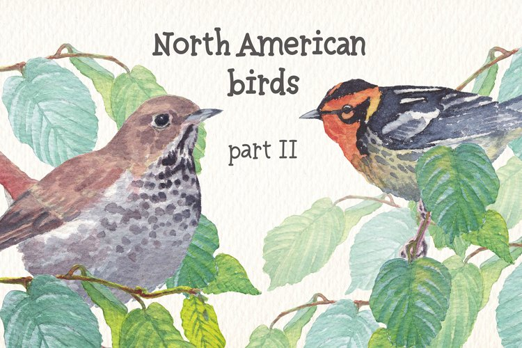 Birds of North America part II watercolor clipart