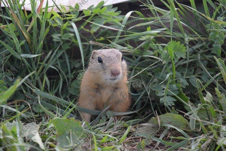 Groundhog near the burrow Bundle - 5 photos