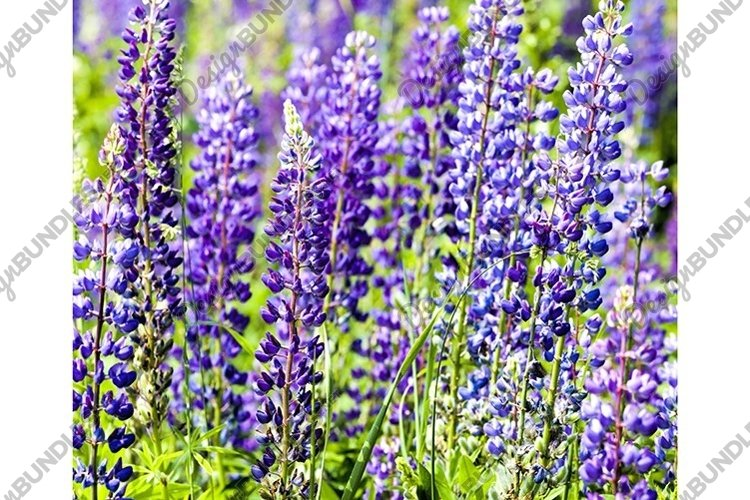 flowering blue lupine example image 1
