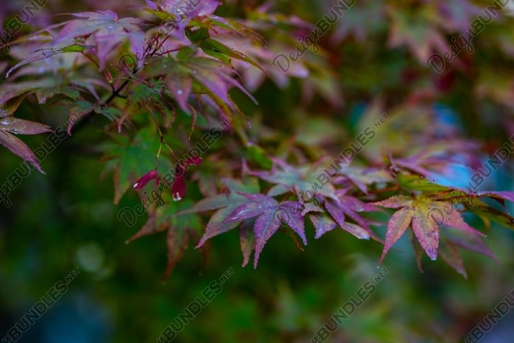 Red canadian acer tree example image 1