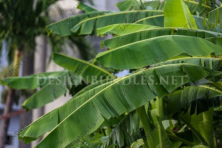 Banana trees in the forest example image 1