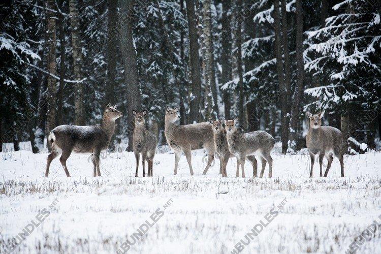 Group of deer, Cervus nippon dybowski, Dybowski's sika deer example image 1