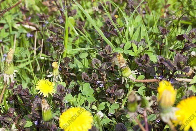 beautiful yellow dandelions example image 1