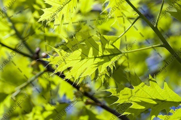 young beautiful oak example image 1