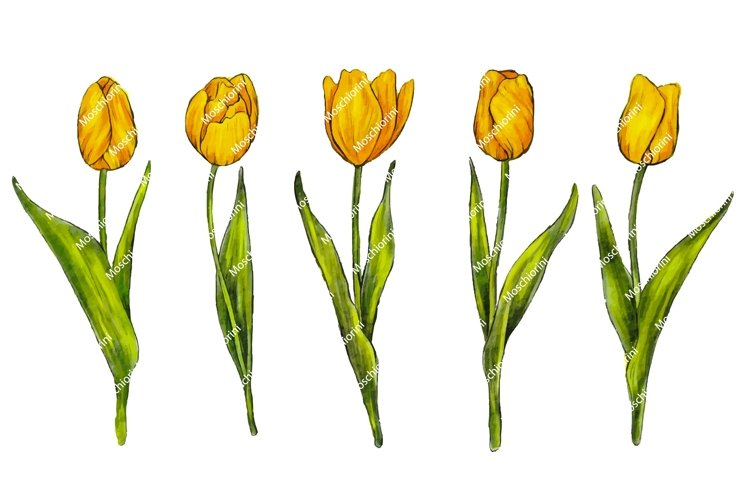 collection of tulips in watercolor