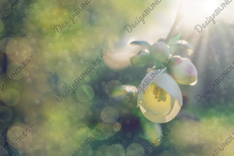 Floral background with white fruit tree flower in sunlight. example image 1