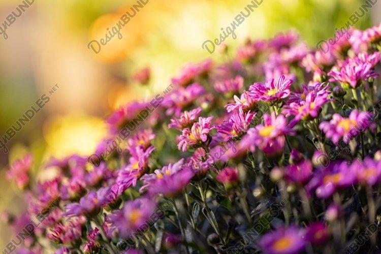 Mums - Purple Chrysanthemum Flowers example image 1