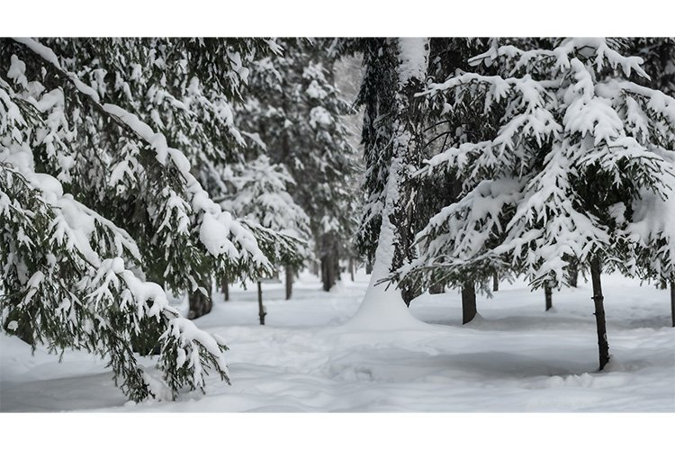 Stock Photo - Snow covered branches of spruce trees example image 1