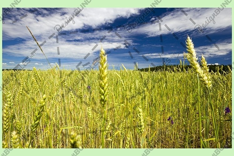 wheat or rye example image 1