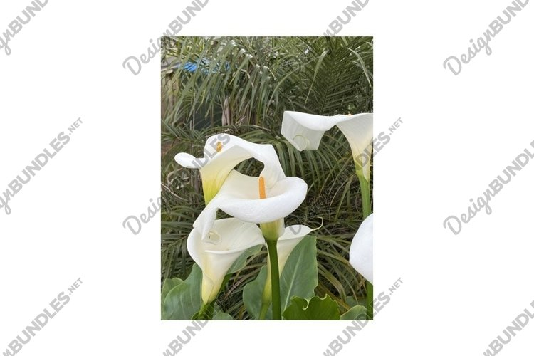 Photo of the Flower of Arum Lily Crowborough example image 1