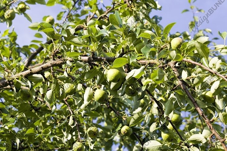 apples on the branches example image 1