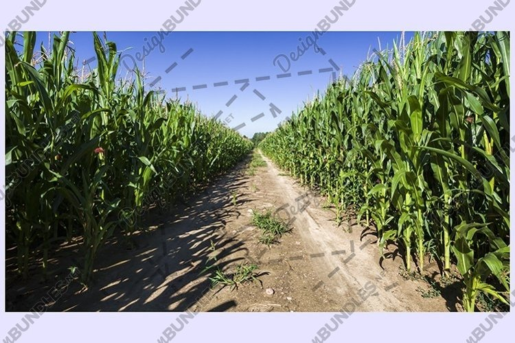 sandy country road , middle of thecorn field example image 1