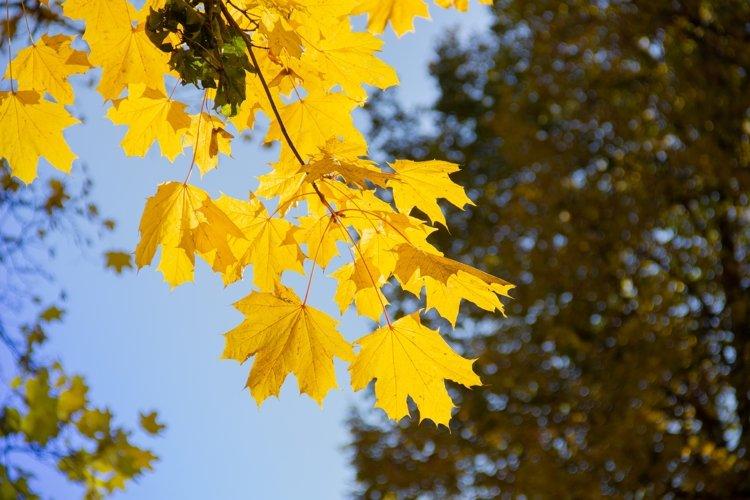 maple tree, sunny weather example image 1